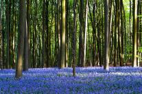 Amazing Flower Bloom Turns This Forest into Blue Wonderland