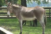15 unusual hybrid animals that you never knew existed