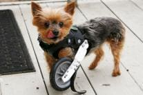 12 Pictures of Animal Amputees Who Walk Again