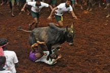 OPINION | Yes, People Died in Jallikattu, But Should We Blame the Sport?