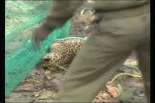 Leopard Strays Into House in Indore, Injures Three Before Being Captured