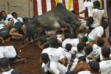 Supreme Court Refuses to Stay New Jallikattu Law, But Frowns on Protests
