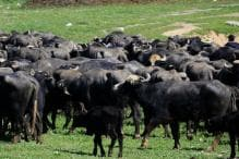 Man Loses 19 Buffaloes, Consumer Commission Orders Rs 20 Lakh Compensation After 13 Years