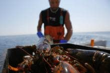 China Threatens Tariffs on Lobsters as Business Booms, May Hit US Seafood Industry