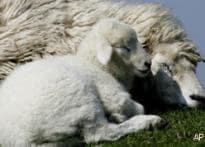 Iran doctors claim cloning a sheep