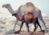 Bones of  'giant camels'  found in Syria