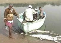 Endangered ghariyals dying of unknown causes