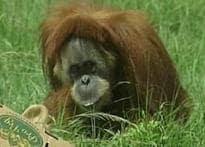 World's oldest oranguatan dies at 55 in Florida zoo