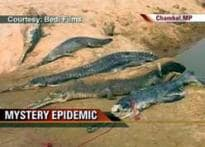 Mystery epidemic puts gharial on the brink