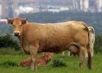 Forget horse power, cars may run on cow power
