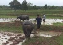 Thailand's farmers leave tractors for buffaloes