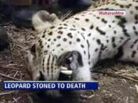 Leopard stoned to death by villagers in Maharashtra
