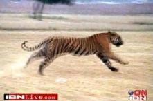 Tiger on the run wreaks havoc in Mathura