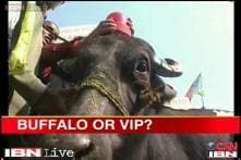 Watch: People mock Azam Khan with 'VIP buffalo'
