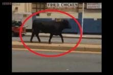 Baltimore police shoot cow running loose in the city
