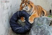 This Japanese zoo has taken catwalk to a wild new level with fashionable tiger-clawed lion-ripped jeans
