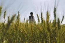 Punjab: Centre's decision on new paddy norms anti-farmer, says Congress