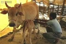 ISKCON extends its support to ban on slaughter of cows