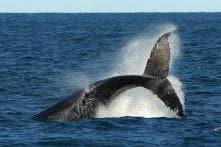 6 Critically Endangered North Atlantic Whales Found Dead in Canada's Coastline