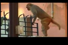 Monkey menace a poll issue in Arrah
