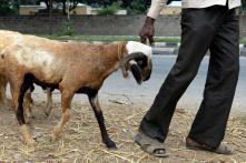 Uttarakhand HC Bans Slaughter in the Open During Bakr-Eid, Animal Sacrifice in Hindu Temples