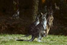 'Psycho' Kangaroo Leaps to Freedom After Rescue From Australian Home