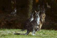Australian Man Undergoes Plastic Surgery After Kangaroo Attack