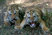 Death of Third Tiger Cub at MP's Bandhavgarh Culminates Rescue Mission