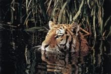 On International Tiger Day, Hope Floats for the Beautiful Beast