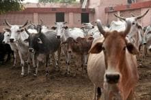 Teachers and Students in UP School Driven Out of Campus to Shelter Stray Cows
