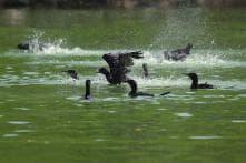 Bird Flu: Threat of Infection to Migratory Birds