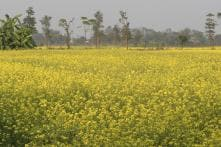 Will Take Policy Decision on GM Mustard Crop, Centre Tells Supreme Court