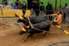 Kambala Live: Students Stage Protest, Demands Ban on PETA