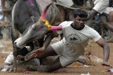 Jallikattu Bill Cruises Through House, Bull-taming Sport now Legal in TN