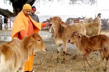Yogi Adityanath's 'Favourite' Cows to Follow Him to His New Residence