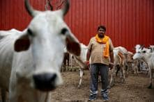 'Does Only BJP Own Cows?' AAP, Congress Make Foray Into Bovine Politics as Elections Near