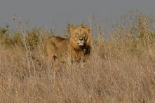 204 Lions Died in Gir Forest Region in Last Two Years: Gujarat Govt