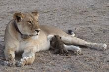 Another Lioness Dies in Gir forest, Toll Rises to 14 in Two Weeks