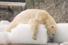 Polar Bear Shot Dead for Wounding German Cruise Ship Worker