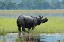 Poachers Kill Male Rhino in Kaziranga, Escape with Horn