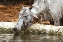 Farmer Tries to Save Cow From Getting Electrocuted, Dog Follows, All Die