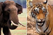 Elephant, Tiger Attacks Killed One Person a Day on Average, Says Centre
