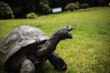 Jonathan, St Helena's Ancient Tortoise, Awaits Visitors