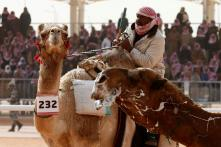 12 Camels Disqualified From Saudi Beauty Pageant Over Use of Botox Injections