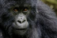 Rwanda's Mountain Gorillas are Under Threat; See Pictures