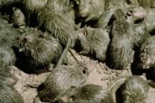 Oh Rats! Japan Convenience Store Apologises After Rodent Video in its Tokyo Store Goes Viral