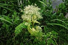 Dangerous Plant That Can Cause Blindness Found in Virginia