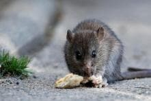 Inner Mongolia Drought Causes Rat 'Plague': Report
