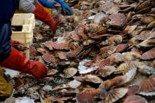 Scallop Wars: French and British Fishermen Clash Over Prized Shellfish
