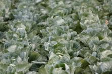 Cabbage, Broccoli Could Help Prevent Colon Cancer: Study